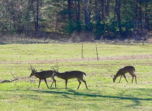 group of white tail bucks in Cades Cove - 1