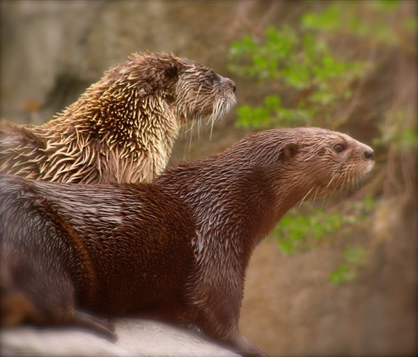 otters in the smokies.jpg