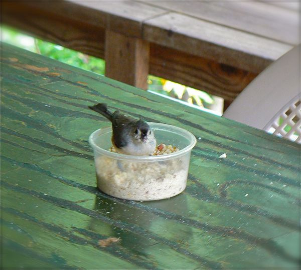 tufted-titmouse-eating