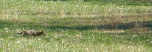 coyote in cades cove.jpg