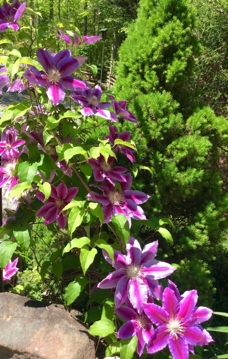 nellie moser clematis blooms