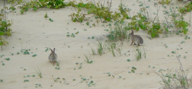 bunny rabbits at jockeys ridge state park.jpg