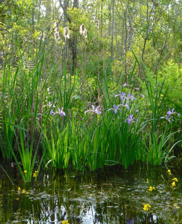 irises blooming at alligator river national wildlife refuge.jpg