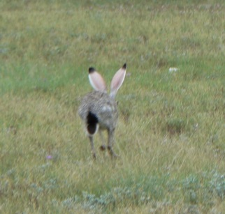 jack rabbit south Llano river state park