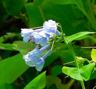 virginia bluebells in the smokies