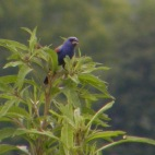 blue grosbeak in cades cove