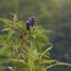 blue grosbeak in cades cove