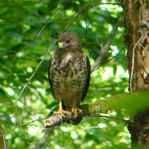 hawk along rich mountain road.jpg