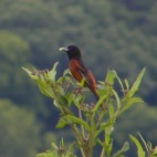 orchard oriole in cades cove