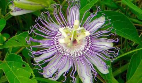passion flower cades cove