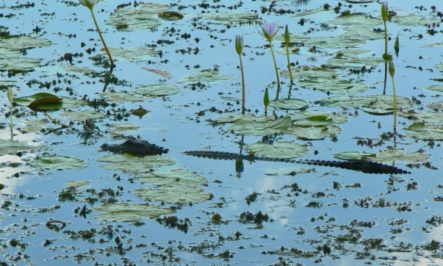 alligator at anahuac national wildlife refuge.jpg