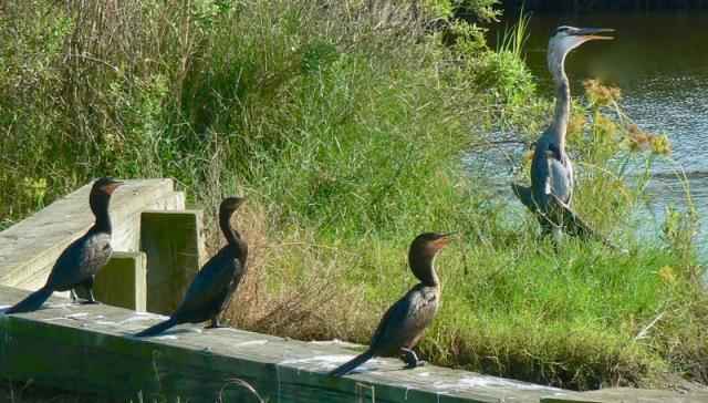 anahuac-national-wildlife-refuge-rachelle-siegrist-blue-heron