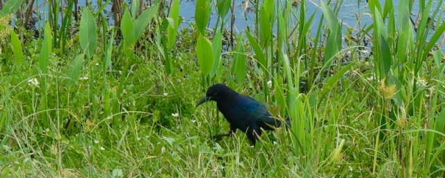 grackle at anahuac national wildlife refuge.jpg