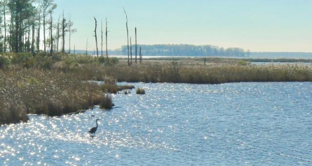 birding-blackwater-wildlife-refuge