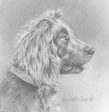 boykin-spaniel-portrait-drawing