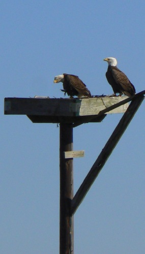 eagles-at-blackwater-national-wildlife-refuge