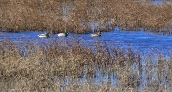 waterfowl-at-blackwater-national-wildlife-refuge