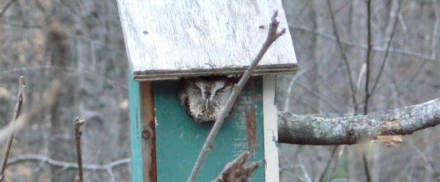 eastern screech owl gray morph