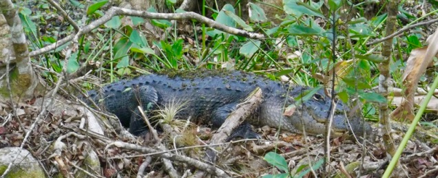 highlands-hammock-alligator