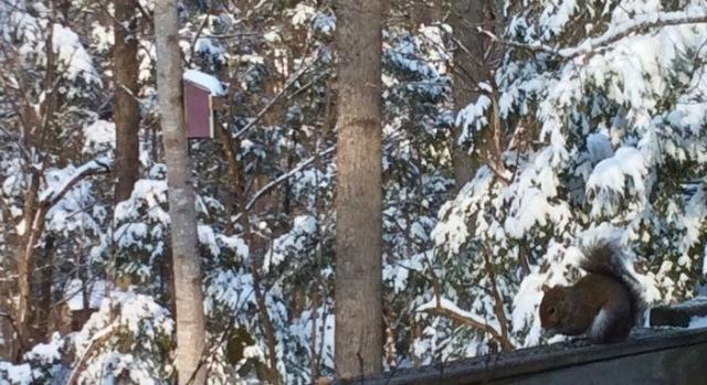 rachelle siegrist squirrel in snow.jpg