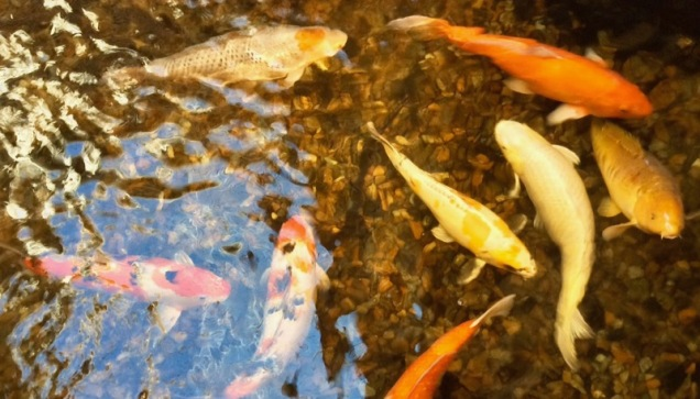 tulsa-renaissance-hotel-and-convention-center-goldfish