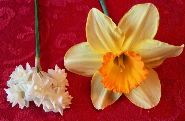miniature daffodils rachelle siegrist.jpg