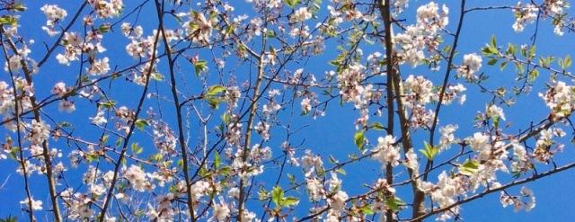 yoshino cherry blossoms.jpg