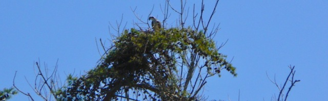 osprey nesting.jpg