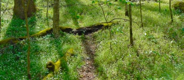 porters creek trail wildflowers.jpg