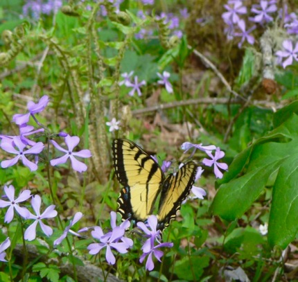 swallow tail butterfly in smokies