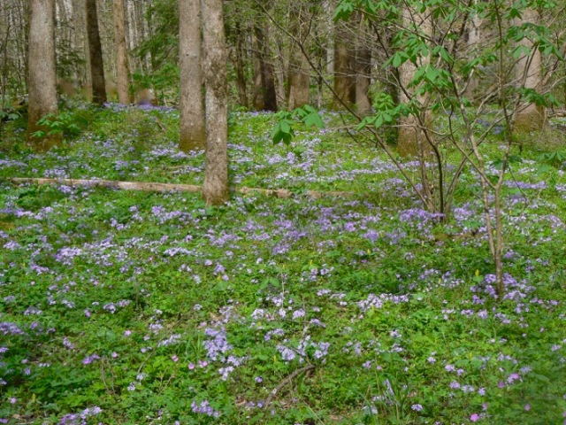 tall phlox in smokies.jpg