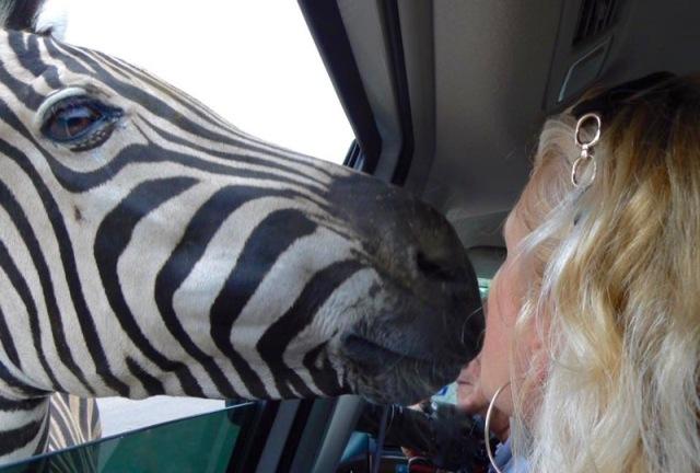 rachelle siegrist kissing a zebra (1)