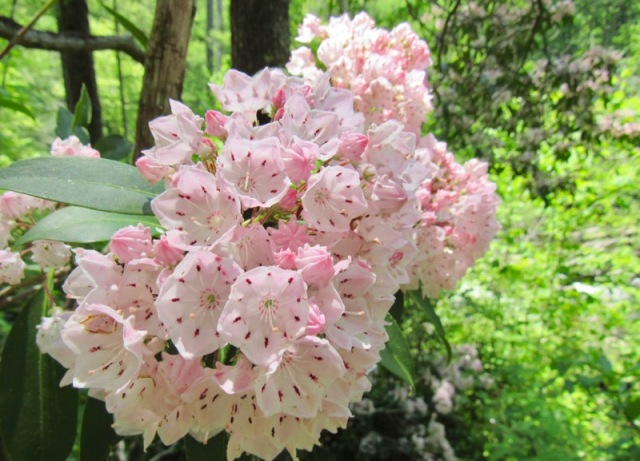 rachelle siegrists photo of Mountain Laurel Bloom