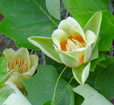 tulip poplar blossom
