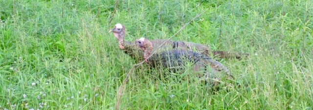 turkey in cades cove