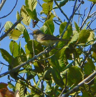 white-eyed vireo wes siegrist photo