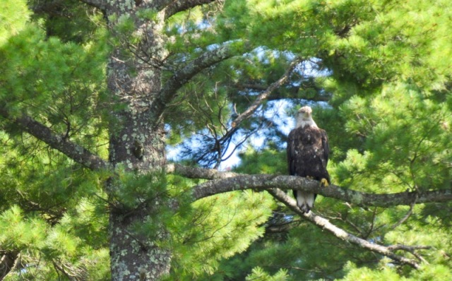 bald eagle on lake katherine