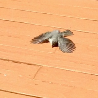 tufted titmouse photo