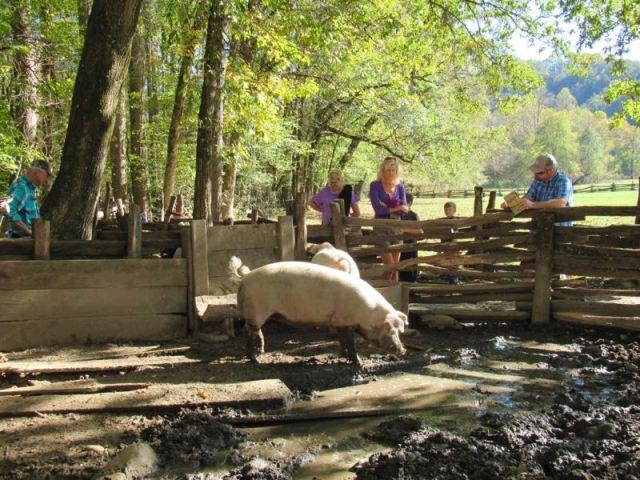 cute pigs at okunaluftee