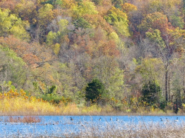 canada geese in fall