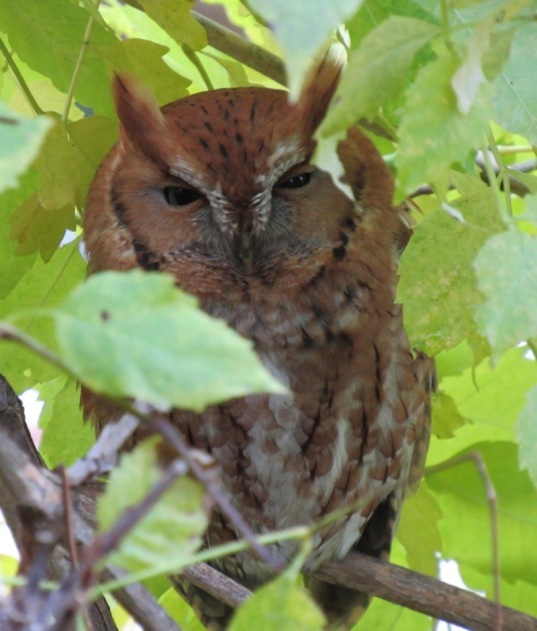 screech owl red