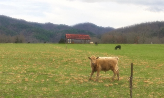 Cows in Townsend photo by Wes Siegrist