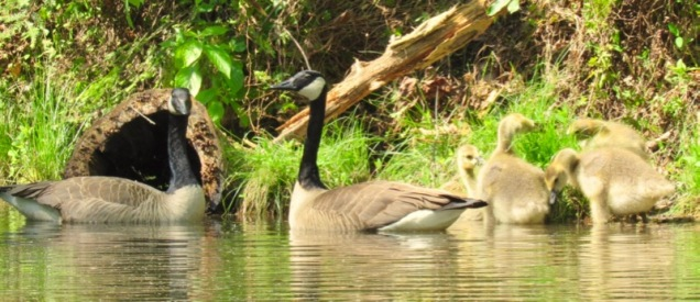 canada geese with babies