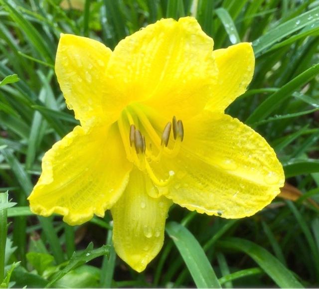 rachelle siegrists daylilly flower