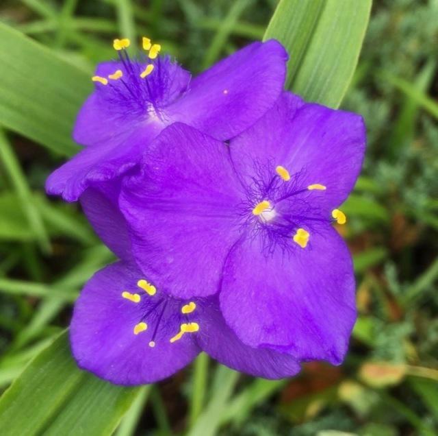 rachelle siegrists spiderwort flower