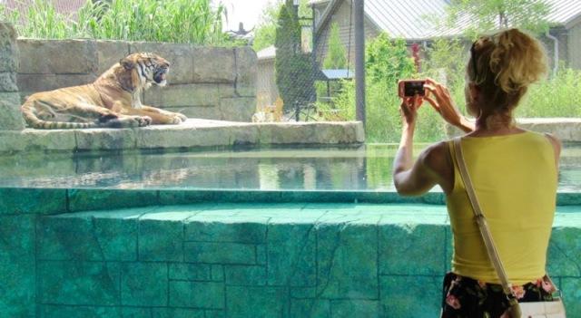 tiger at knoxvile zoo