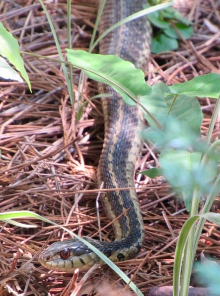 garter snake photo