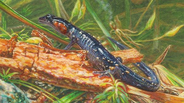 Jordan's Red-cheeked Salamander painting by Wes Siegrist