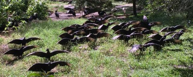 buzzard photo at homasassa springs