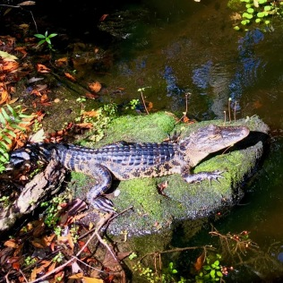 gator photo